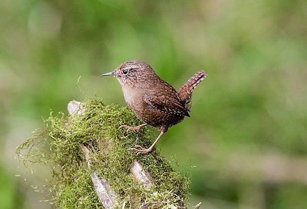 鷦鷯科(Troglodytidea )是鳥綱雀形目中的一個科。共有17屬80種,鷦鷯多是小型.jpg