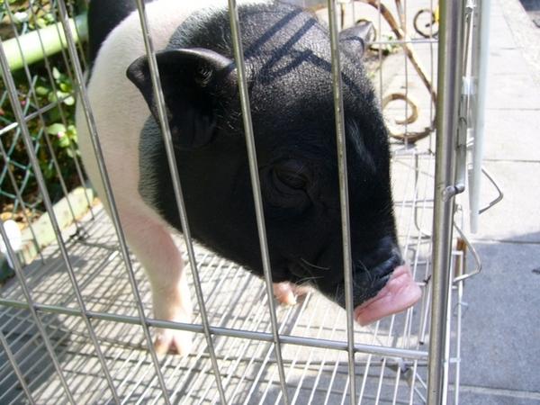 谷關名產-山豬肉