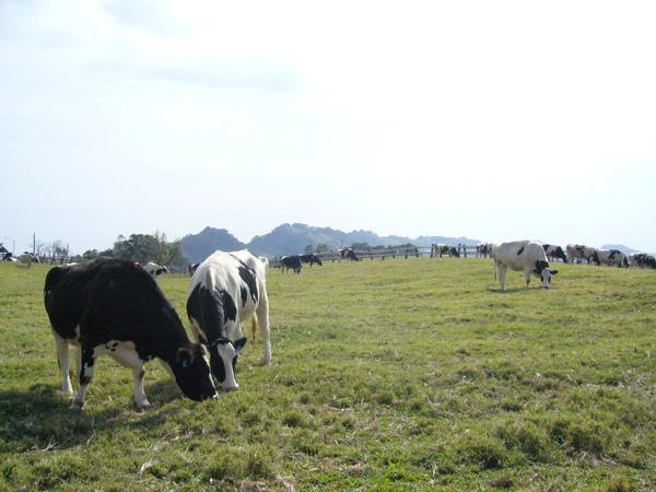 初鹿牧場是飛牛牧場的迷你版