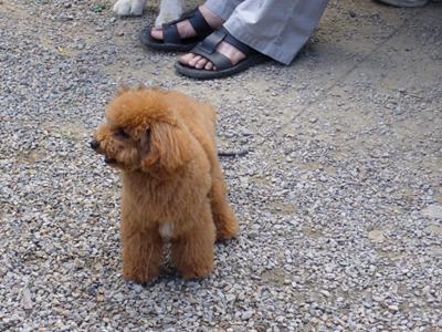 泰迪狗--真像絨毛娃娃,好想抱他喔!