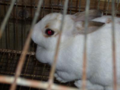 戴了大眼隱形眼鏡的小白兔!?可是拍起來有紅眼><