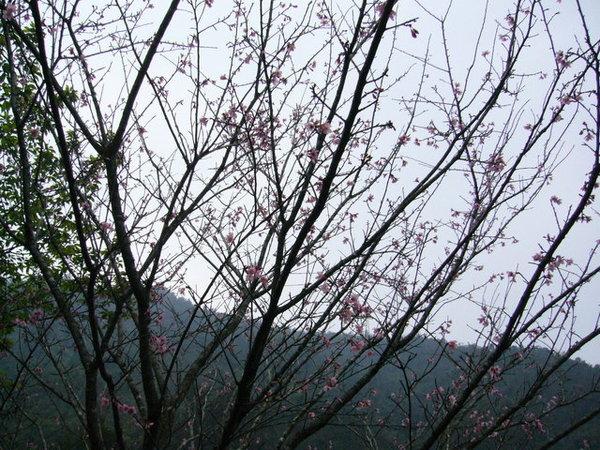 僅有的一棵櫻花樹><