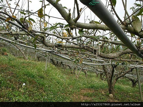 梨子園景觀農地