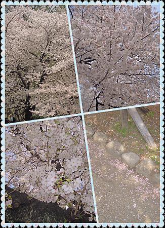 名古屋城外的櫻花