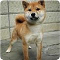 柴犬.1jpg.jpg