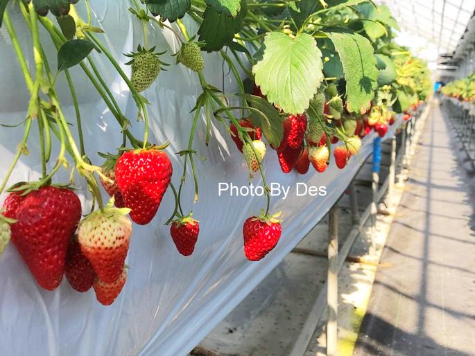Strawberry_35.JPG