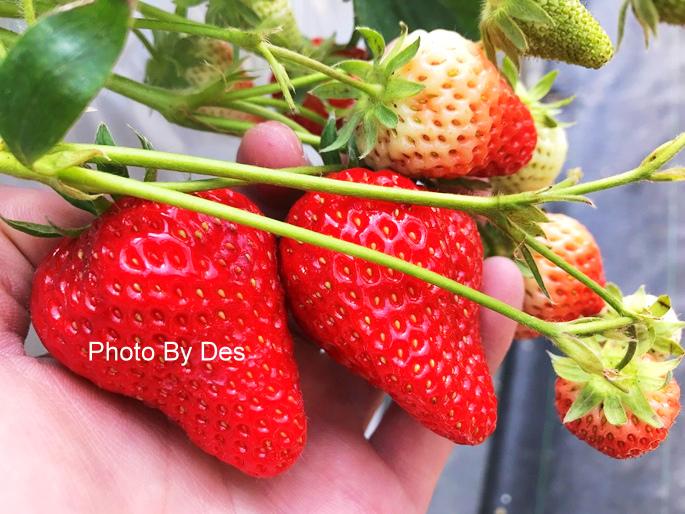 Strawberry_37.JPG