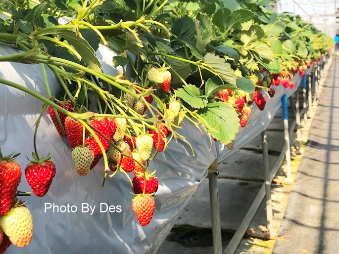 Strawberry_36.JPG