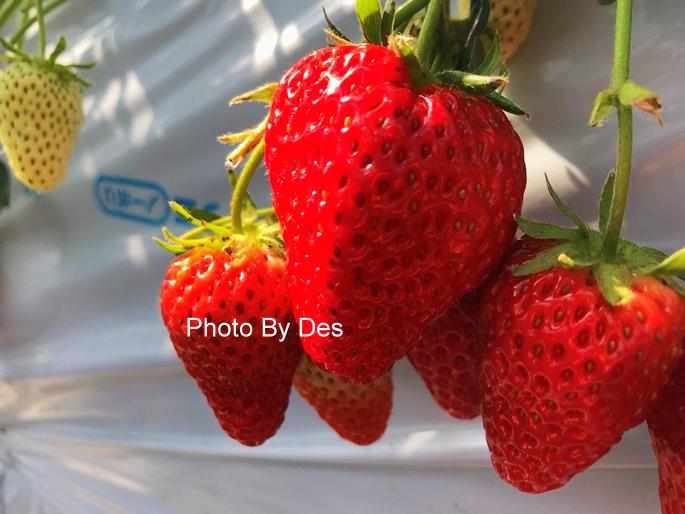 Strawberry_38_1.JPG