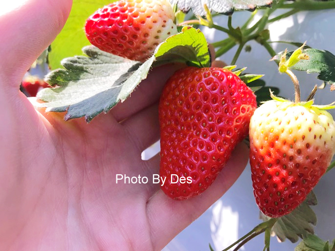 Strawberry_38.JPG