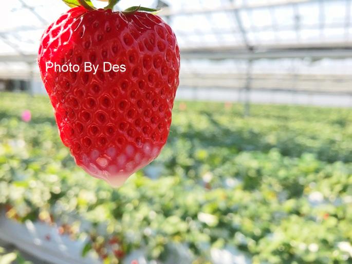 Strawberry_41_1.JPG