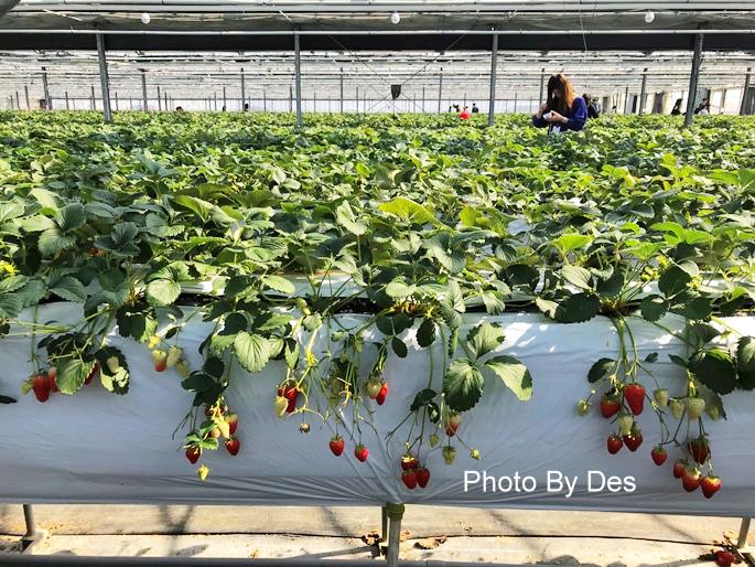 Strawberry_46.JPG