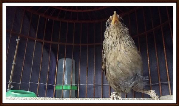 台灣畫眉鳥