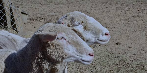 清境農場---綿羊秀