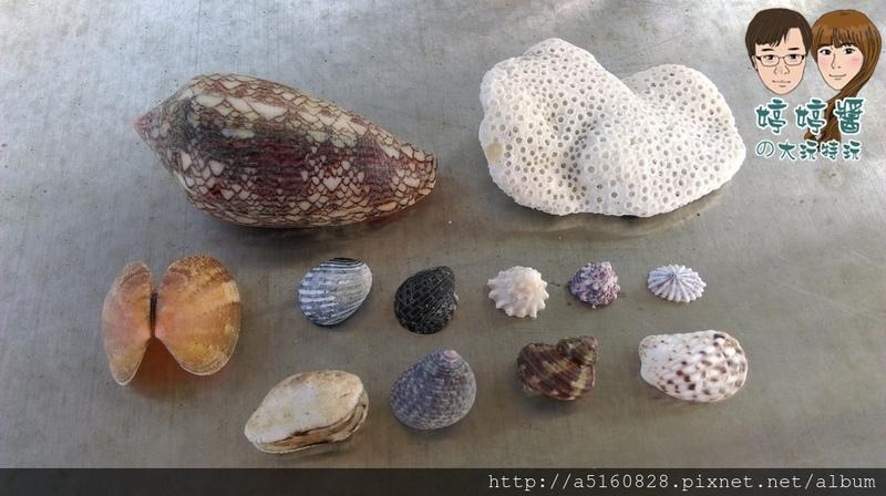 黃金咖啡海岸寄居蟹貝殼