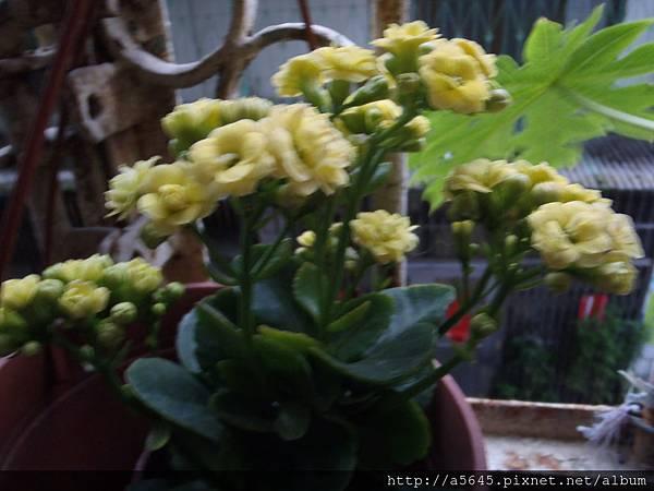 黃色非洲雙瓣長壽花