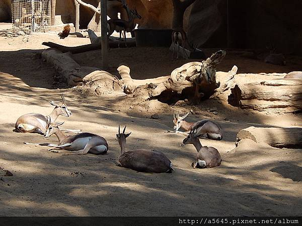 聖地亞哥動物園羊