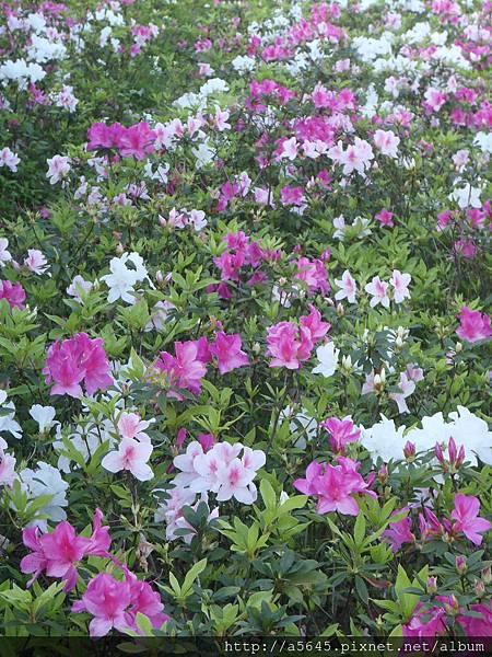大安森林公園賞杜鵑花