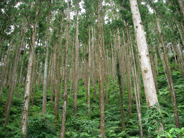 濃密的人造林