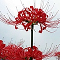 Cluster_amaryllis_close-up.jpg
