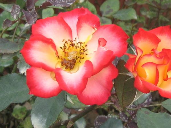 一點五朵玫瑰