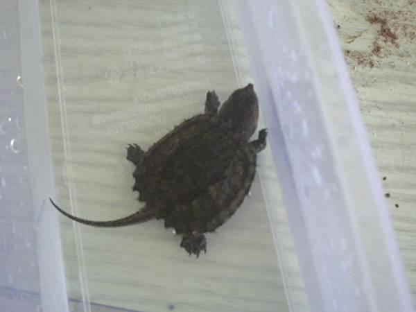 小擬鱷3號背甲.JPG