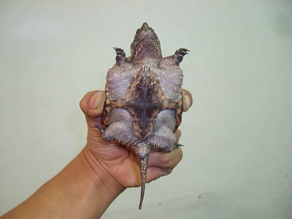 背甲7.5公分北美擬鱷龜1200元