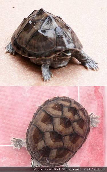 水龜麝香龜4.5公分650元含運700元