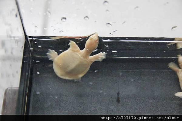3白子鱉3cm