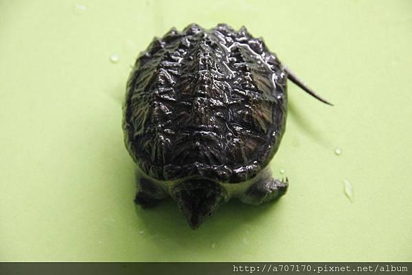 南美擬鱷龜6