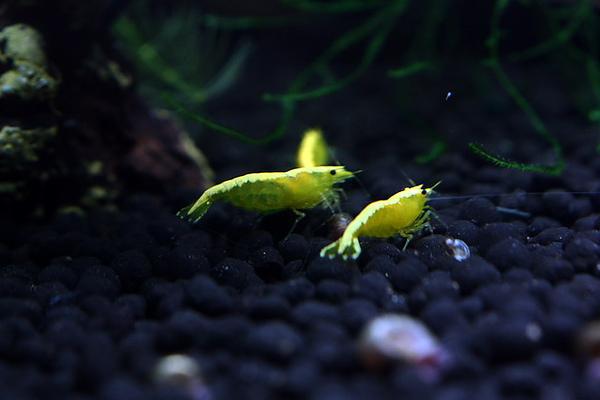 金背黃金米蝦