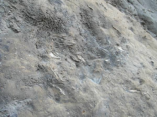 q過港貝化石層3.JPG