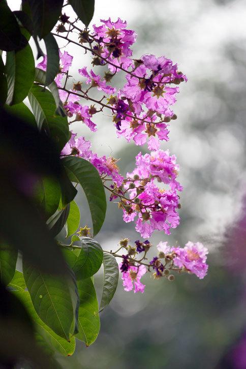 大花紫薇.png
