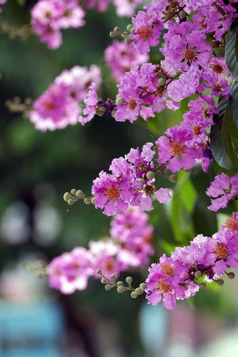 大花紫薇1.png