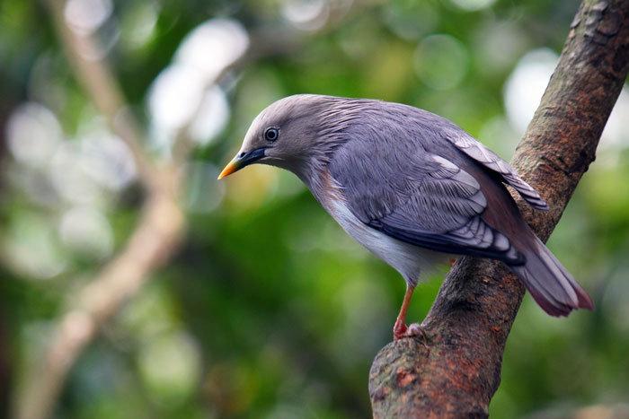 灰頭椋鳥5.png