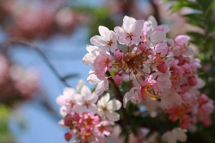 桃紅陣雨樹1.png