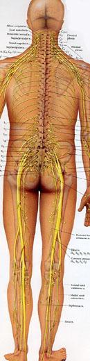 背部神經分佈圖.jpg
