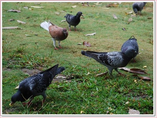 愛河鴿子.jpg