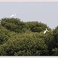枝頭白鷺鷥.jpg