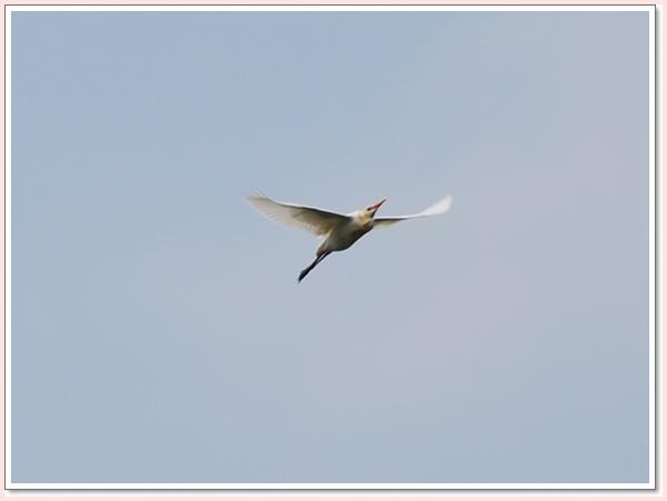 飛翔白鷺鷥.jpg