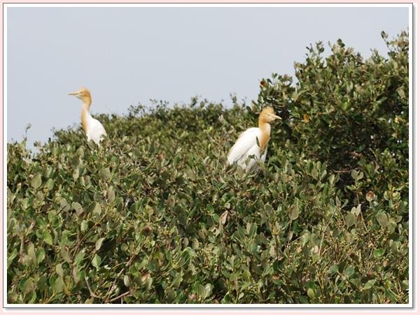 黃頭白鷺鷥.jpg
