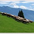 羊群在草原.jpg