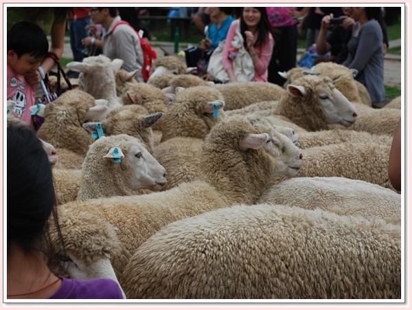 趕羊秀後羊群被放出來囉.jpg