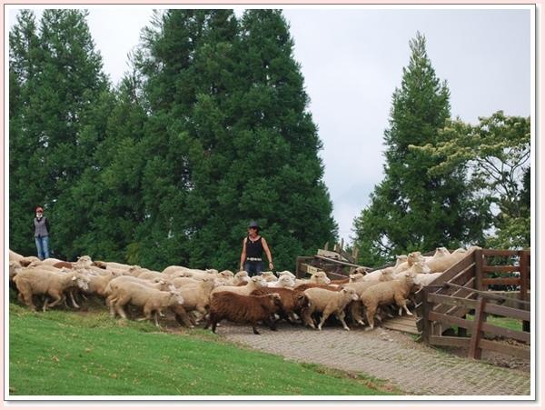 趕羊進羊圈.jpg