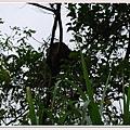 樹上的螞蟻窩.jpg