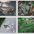 遇見4隻蜥蜴.jpg