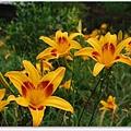 春季金針花.jpg