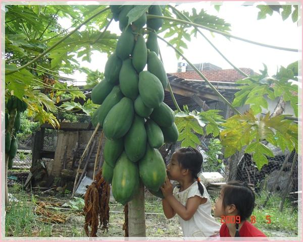 好大的木瓜.jpg