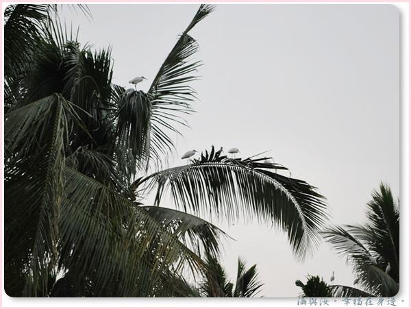 一群白鷺鷥在椰子樹上.jpg