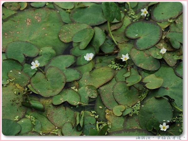 水蓮的花.jpg